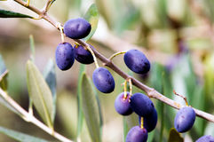 Foliage and fruits of olive tree Stock Photos