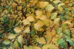 Foliage of germander meadowsweet in November. Foliage of germander meadowsweet in mid November Stock Photography
