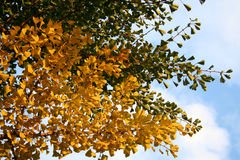 Foliage of gingko tree Royalty Free Stock Photography