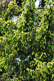 Foliage of golden Norway spruce.txt Stock Image