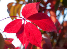 Foliage grapes red leaf Stock Photo