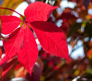 Foliage grapes red leaf Royalty Free Stock Images