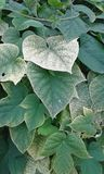 Foliage. Of green leaves. Variagated leaves.  Fodele. Crete. Greece Royalty Free Stock Image