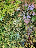 Foliage with green, yellow, pink and purple colored leaves, background and texture. Backdrop for environmental and nature ads, ecology and ecosystem care, leaves royalty free stock photos