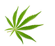 Foliage of hemp isolated on white background. Stock Images