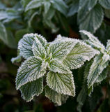 Foliage in hoarfrost Royalty Free Stock Photos