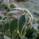Foliage in hoarfrost Royalty Free Stock Images
