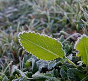 Foliage in hoarfrost Stock Image
