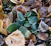 Foliage in hoarfrost Stock Images