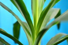 Foliage of home yukka palm tree. Foliage of home yukka palm tree royalty free stock photos
