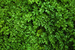 Foliage I. Dense green foliage background without vignette effect Stock Photo