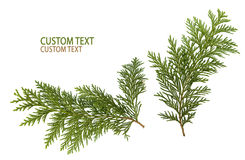 Foliage of Japanese Thuja. Tree, isolated on pure white background Royalty Free Stock Photography