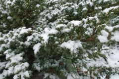 Foliage of of Juniperus squamata covered with snow. In winter Stock Image
