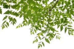 Foliage of Kentucky Coffee Tree Stock Photos