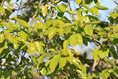 Foliage of khaki. In spring Royalty Free Stock Images