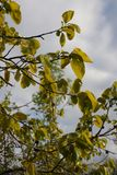 Foliage of khaki. In spring Royalty Free Stock Photos