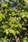 Foliage of khaki. In spring Stock Images