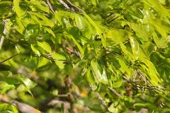 Foliage of khaki. In spring Stock Photography