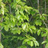 Foliage of khaki. In spring Royalty Free Stock Image