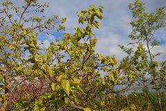 Foliage of khaki. In spring Royalty Free Stock Photo