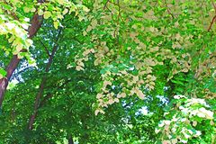 Foliage of linden tree white leaves - back view of linden foliage Stock Photos