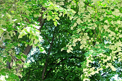 Foliage of linden tree white leaves - back view of linden foliage Stock Photography