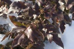 Foliage of mahonia on a winter sunny day vector illustration