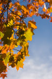 Foliage of maple Stock Images