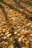 Foliage of a maple Royalty Free Stock Photo