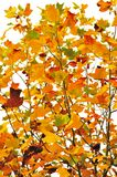 Foliage of a maple Royalty Free Stock Photos