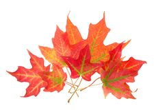 foliage of maple leaves Royalty Free Stock Images