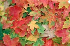 foliage of maple leaves Stock Image