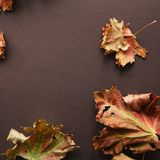 Foliage maple leaves on a brown background. Royalty Free Stock Image