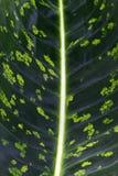 Foliage of the Maranta leuconeura Royalty Free Stock Photography