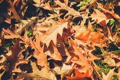 Foliage on meadow - oak leaves closeup Stock Photos