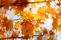 Foliage in movement. The Leafs of maple in movement Royalty Free Stock Images