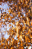 The turned yellow foliage. Foliage of orange color (oak), remained on trees. the picture is taken in a winter season Royalty Free Stock Photography