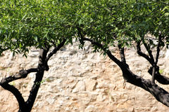 Foliage of orange trees. The foliage of some orange trees with a blurred stone wall in the background royalty free stock images