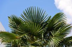 Foliage of palm. Lush green foliage of palm on background sky stock photography