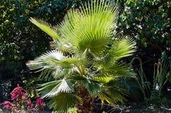 Foliage of palm. Lush green foliage of palm on tree background royalty free stock photography