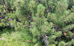 Foliage pine pins fragment Stock Photos