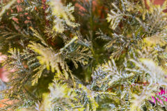 Foliage of pine tree seen from above. Royalty Free Stock Photo