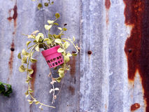 Foliage plant in pots hang on rustic background Royalty Free Stock Photography