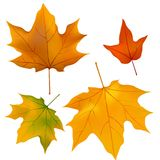 Foliage, plants, leaves, background, maple, maple Stock Photography