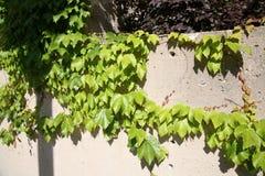 Foliage Plants on a wall Royalty Free Stock Photos