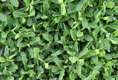 Foliage of Polygonum aviculare. Or common knotgrass  as a botanical background or pattern Stock Photos