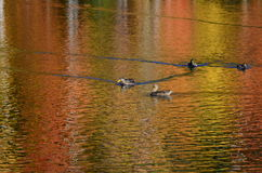 Foliage pond with mallard ducks, Canada geese and vibrant color water surface reflection stock images