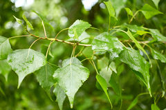 Foliage of poplar tree Royalty Free Stock Images
