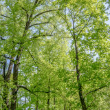 Foliage of poplars in forest Stock Images