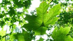 Foliage through the rays Stock Photos